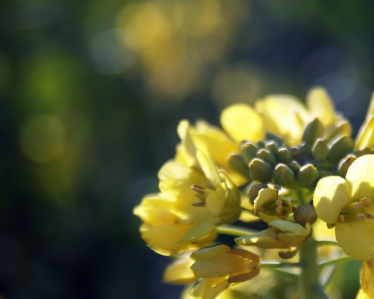 Mustard-2